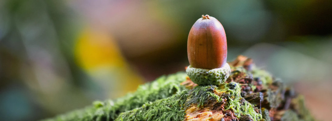 An Acorn in autumn